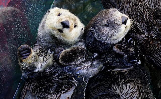 Monterey Bay Aquarium Sea Otter LIVE CAM   Kids Out and ...